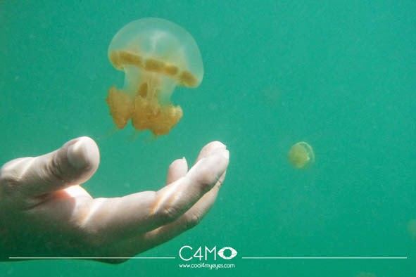 Ubur ubur berukuran kecil dan mudah sobek